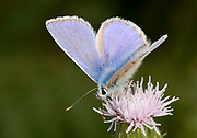 Close-up of a common blue butterfly (Polyommatus icarus) feeding on a creeping thistle flower in a Surrey hedgerow in summer