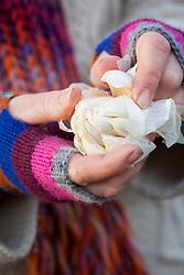 Separating clove of garlic ready to plant. Allium sativum
