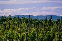 Spruce forest, Fairbanks, Alaska, US