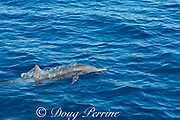 eastern spinner dolphin, Stenella longirostris orientalis, exhaling bubbles while surfacing, offshore from southern Costa Rica, Central America ( Eastern Pacific Ocean )