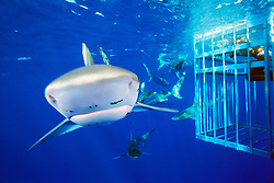 diver in cage and Galapagos sharks, .Carcharhinus galapagensis, .note copepod parasites, .North Shore, Oahu, Hawaii (Pacific)