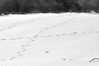 Deer tracks in my back yard. Late winter snow in New Jersey. Image taken with a Nikon D2xs camera and 80-400 mm VR lens (ISO 100, 80 mm, f/12, 1/640 sec).