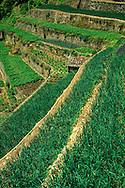France, Languedoc Roussillon, Gard (30), Saint-Martial, cultures en terrasses, oignons doux des Cevennes