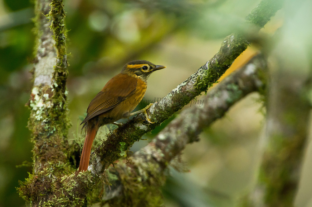 Scaly-throated Foliage-gleaner (Anabacerthia variegaticeps)<br /> Mindo<br /> Cloud Forest<br /> West slope of Andes<br /> ECUADOR.  South America<br /> HABITAT & RANGE: Moist lowland and moist montanes of tropical and subtropical forests in Belize, Colombia, Costa Rica, Ecuador, El Salvador, Guatemala, Honduras, Mexico, and Panama.