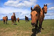 Montana Horses, Rocky Mountain Front