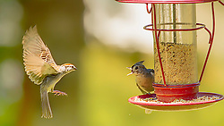 A tufted titmouse gets protective of the feeder when an incoming sparrow approaches