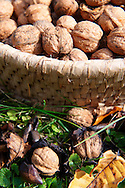 Walnuts being harvested