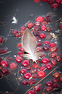 A feather rests atop cranberries floating in a late winter flooded bog in Harwich