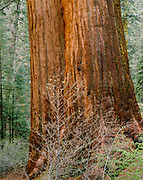 Dogwood and Sequoia in the Tuolumne Grove, Yosemite National Park, California