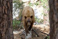 Black Bear, California Sierra Mountains