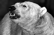 Deutschland, DEU, Berlin, 2000: Ein Eisbaer (Ursus maritimus) auf der Hut in der Nacht, Berliner Zoo. | Germany, DEU, Berlin, 2000: Polar bear, Ursus maritimus, portrait, on the alert at night, Zoo Berlin. |