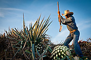"""A jimador uses a tool called a """"coa"""" to harvest the heart, or """"piña,"""" of blue agaves used to make tequila. Since there are not currently any industrial methods for agave harvesting, jimadors and their traditional tools remain vital to the tequila industry. Jimadors harvest hundreds of thousands of agaves each year, and they are also the first line of defense against potentially devastating insect infestations and fungal infections in the agave fields."""