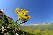 Common kidneyvetch (Anthyllis vulneraria), kidney vetch, woundwort. High Tauern National Park (Nationalpark Hohe Tauern), Central Eastern Alps, Austria | Echter Wundklee (Anthyllis vulneraria), Gemeiner Wundklee. Nationalpark Hohe Tauern, Osttirol in Österreich
