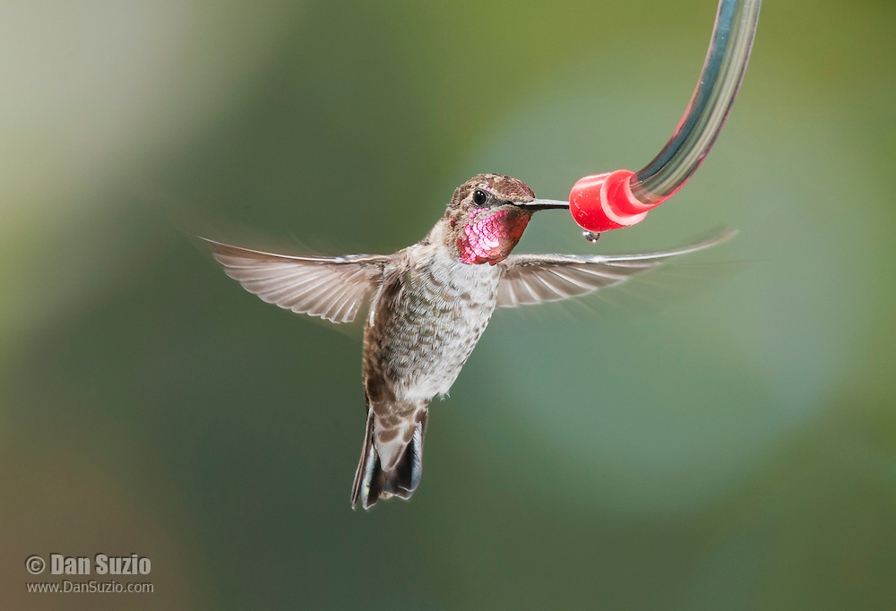 Male Anna's hummingbird, Calypte anna, at a backyard feeder in Alameda County, California
