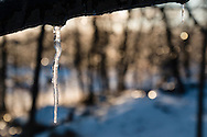 Greenville, New York - Icicles hang from a tree branch after a winter storm brought snow and freezing rain on Jan. 13, 2015.