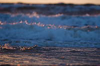 Sea Trout (Salmo trutta), Bornholm, Vester herred, Denmark