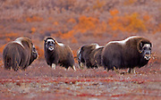Alaska. Muskox (Ovibos moschatus) cows and calves gthering together for protection from predators, during the autumn breeding season on the Seward Peninsula, outside of Nome.
