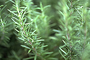 Close up selective focus photograph of Rosemary stems