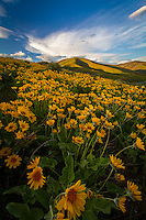 A blanket of yellow balsamroot wildflowers cover the hillside near East Canyon of the Wasatch Mountains near Salt Lake City, Utah.