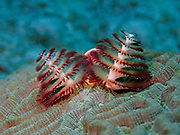 """A Christmas Tree Worm (Spirobranchus giganteus) buried within Brain Coral (Diploria strigose) extends its two """"crowns"""" 45 feet below the surface of the Gulf of Mexico off the coast of Riviera Maya. Christmas tree worms are widely distributed throughout the world's tropical oceans, residing from the Caribbean to the Indo-Pacific.  The two Christmas tree-shaped multicolored spiral """"crowns"""" per worm that protrude from the tube-like body are mouth appendages highly specialized for both feeding and respiration. These animals possess a complete digestive system, a well-developed closed circulatory system, and a nervous system with a central brain and many supporting ganglia.  The worms have two eyes that can detect light which are tucked under the crowns.  The eyes can be partially seen in this image as two brighter red oblong structures between the crowns at their base.  These adaptations allow Christmas tree worms to rapidly retract their crowns into their burrows at any sign of danger.  Interestingly, the nerves from these eyes do not go to the usual section of the brain associated with vision, and the light-sensitive proteins in the eyes called opsins are not the typical eye variety.  Christmas tree worms come in a wide variety of bright colors and are generally about 1.5 inches (3.8 cm) in length."""