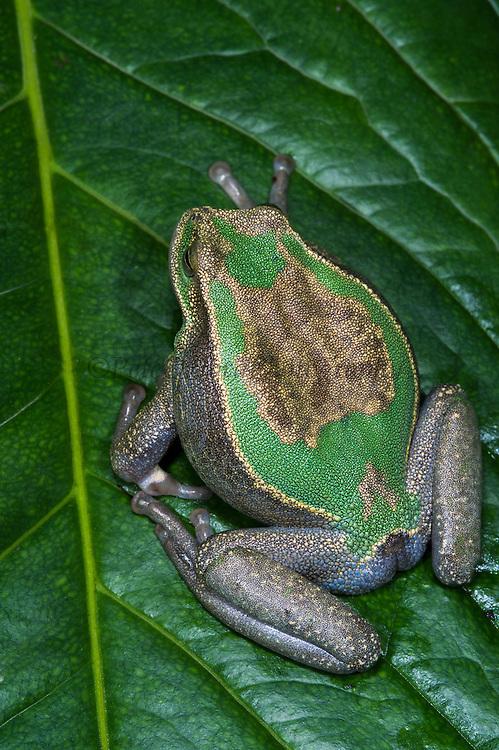 Marsupial frog(Gastrotheca orophylax)<br /> CAPTIVE<br /> Ecuador & Colombia<br /> ECUADOR. South America<br /> Threatened species due to habitat loss<br /> RANGE: Ecuador<br /> Andean & inter andean valleys north & central Ecuador. 2,600-3,100m.<br /> Endangered declining population