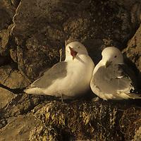 Kittiwake Gulls, Rings Fjord.