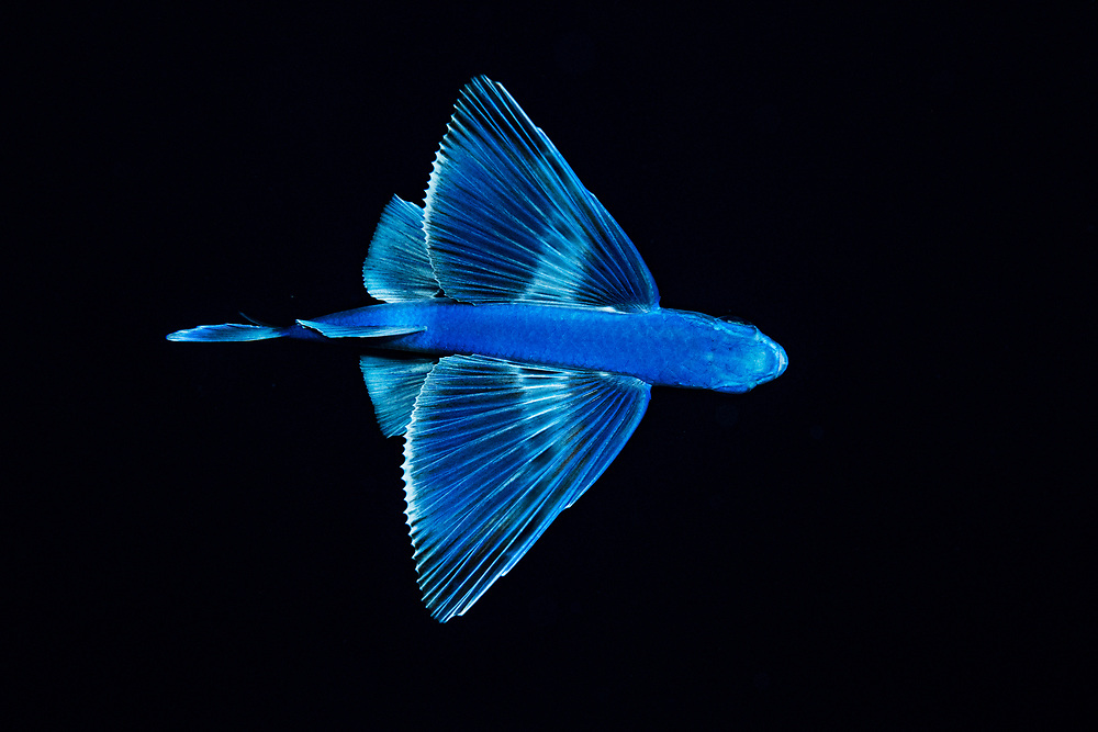 A flying fish at night in the Sargasso Sea in the middle of the Atlantic ocean, International Waters.