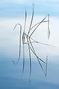 Grass Reeds in water, Sierra de Andujar Natural Park, Sierra Morena, Andalucia, Spain