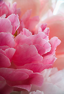 Macro view of deilcate pink peony flower petals<br /> <br /> More about this series of peony photos on the blog: https://goo.gl/z66yyw