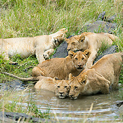 """These lion cubs are growing up fast!<br /> <br /> For all details about sizes, paper and pricing starting at $85, click """"Add to Cart"""" below."""