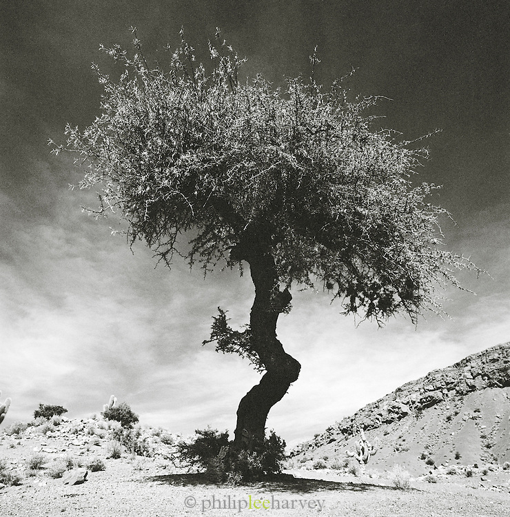 Tree in arid, desert environment, Potosi department, Bolivia