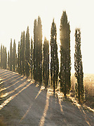 A private driveway to a villa, lined with the iconic Cypress trees, in Tuscany near Montalcino, Italy