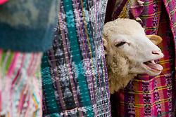 Bleating sheep at San Francisco El Alto,Guatemala
