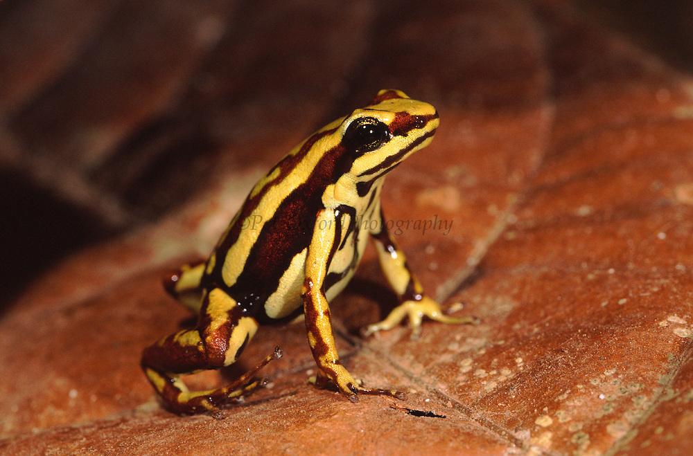 Poison Arrow Frog (Epipedobates tricolor)<br /> Wester ECUADOR.  South America