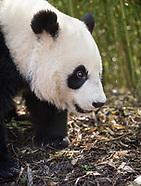 Giant Pandas of China