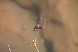 A red dragonfly by a freshwater waterhole in Deception Bay