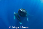 humpback whales, Megaptera novaeangliae, mother sheltering calf under her pectoral fin, Maui, Hawaii, USA ( Central Pacific Ocean )