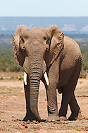 Elephant (Loxodonta africana) facing camera near waterhole in Addo Elephant Park, near Port Elizabeth, Eastern Cape, South Africa