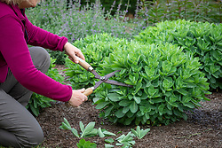 Giving the 'Chelsea chop' to a sedum in spring using shears. Reducing top growth by a third to ensure it remains compact and doesn't flop over later in the season. Hylotelephium Herbstfreude Group 'Herbstfreude' syn. 'Autumn Joy'
