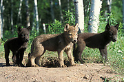 Timber or Grey Wolf, Canis Lupus,  Minnesota USA, controlled situation, three young cubs by den