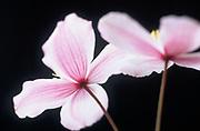 Clematis montana 'Picton's Variety' - mountain clematis