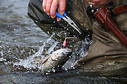 Fishing Line gets caught in a pliers causing the loss of a Dolly Varden on the Alaska Penisula