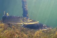 Muskellunge (spawning pair)<br /> <br /> Engbretson Underwater Photography