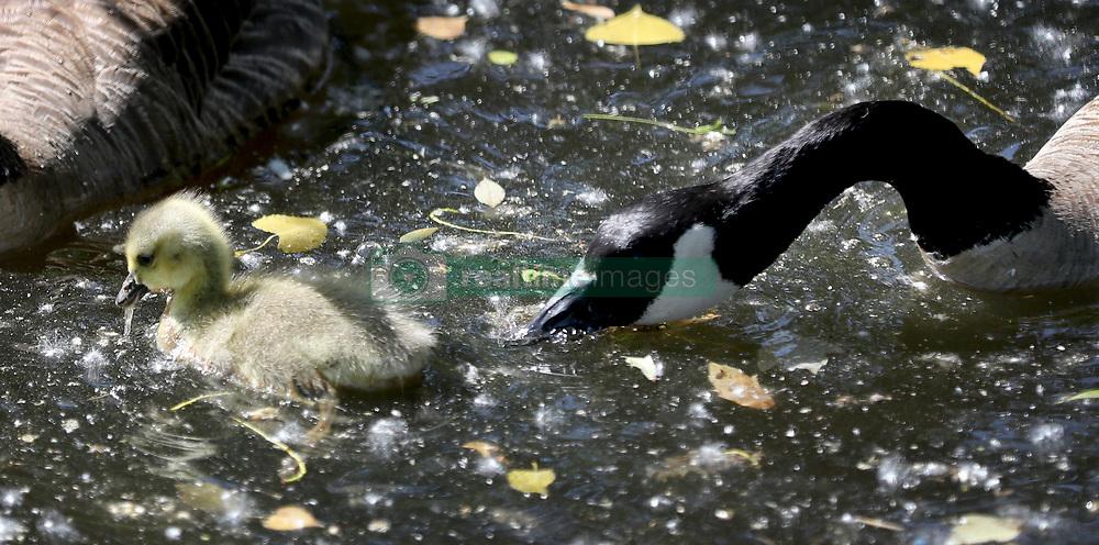 June 3, 2017 - Richfield, MN, USA - United States - A Canada goose parent tries to move along its offspring Saturday, June 3, 2017, on Richfield Lake in Richfield, MN.]....DAVID JOLES • david.joles@startribune.com ........Fuzzy creatures along Richfield Lake (Credit Image: © David Joles/Minneapolis Star Tribune via ZUMA Wire)