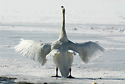 Whooper swan, Cygnus cygnus, standing on frozen lake flapping wings, Kussharo-ko, Hokkaido Island, Japan, japanese, Asian, wilderness, wild, untamed, ornithology, snow, graceful, majestic, aquatic
