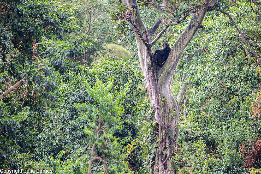 A chimpanzee sits in the crook of a tree in the Ngamba Island Chimpanzee Sanctuary in Lake Victoria, Uganda. 03/15 Julia Cumes/IFAW