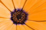 Close-up abstract of the centre of an Osteospermum flower showing the bold colour and radiating lines. Garden, Norfolk