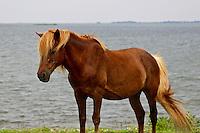 Wild Horse of Assateague Island