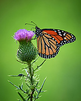 Monarch Butterfly. Image taken with a Nikon D4 camera and 200-500 mm f/5.6 VR lens.