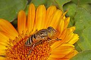 Eristalinus sp; on Marigold flower.